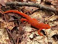 Nice Images Collection: Eastern Newt  Desktop Wallpapers