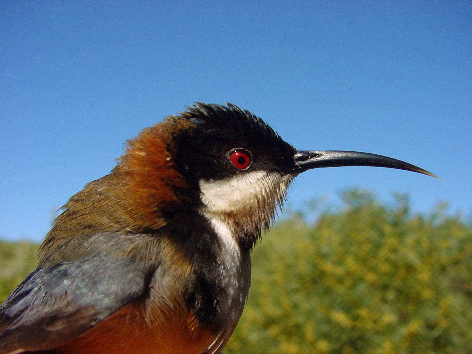 HD Quality Wallpaper | Collection: Animal, 1600x1200 Eastern Spinebill