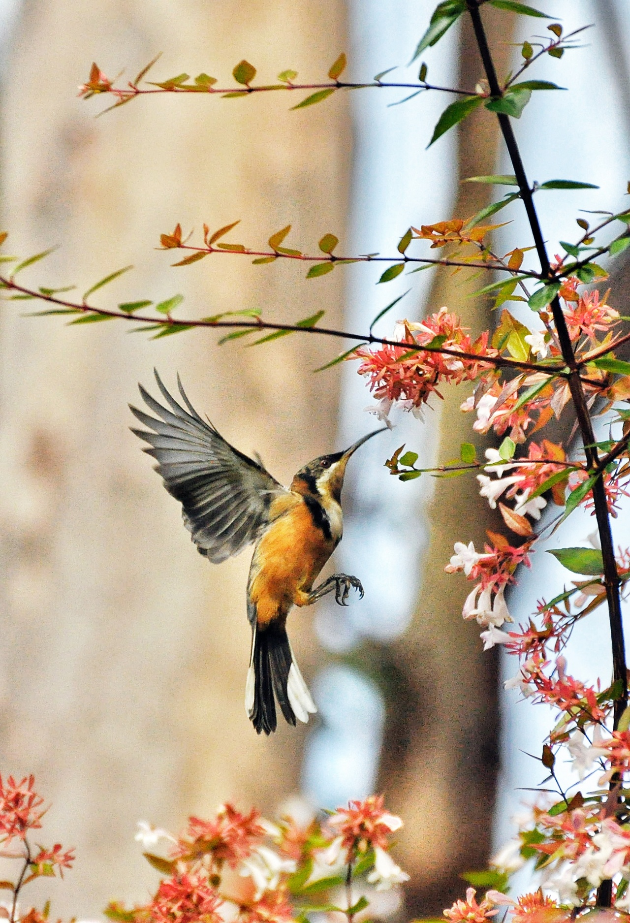 HQ Eastern Spinebill Wallpapers | File 943.1Kb