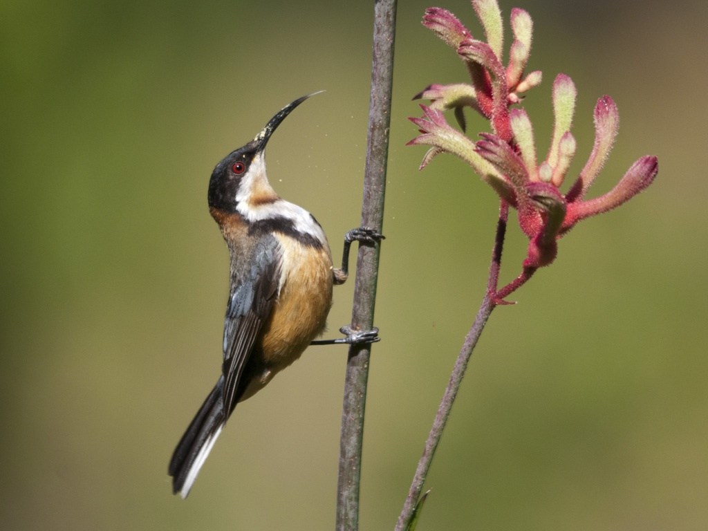 Images of Eastern Spinebill | 1024x768