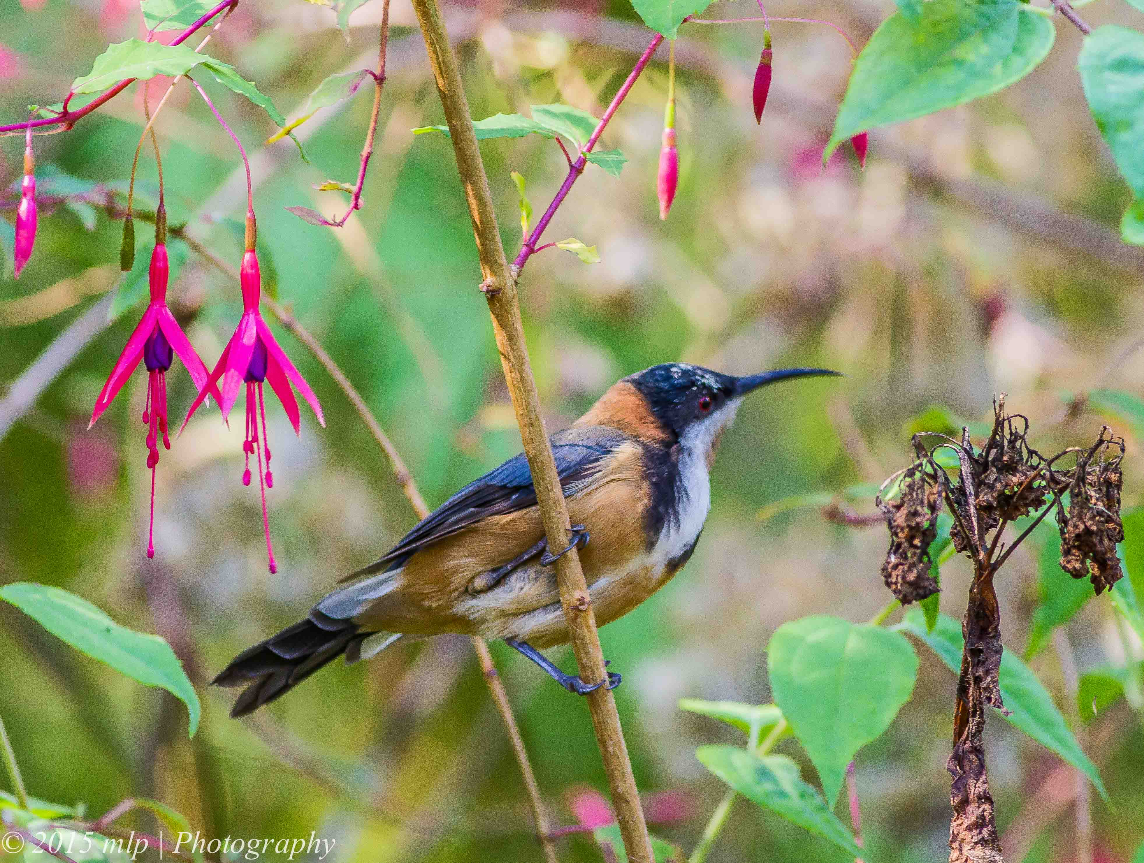 3925x2962 > Eastern Spinebill Wallpapers