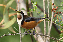 HD Quality Wallpaper | Collection: Animal, 220x147 Eastern Spinebill