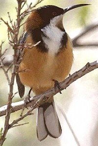 Images of Eastern Spinebill | 200x297