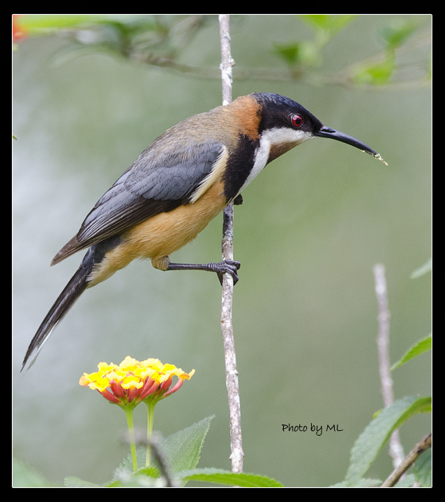 Images of Eastern Spinebill | 638x720