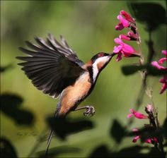 HD Quality Wallpaper | Collection: Animal, 236x224 Eastern Spinebill