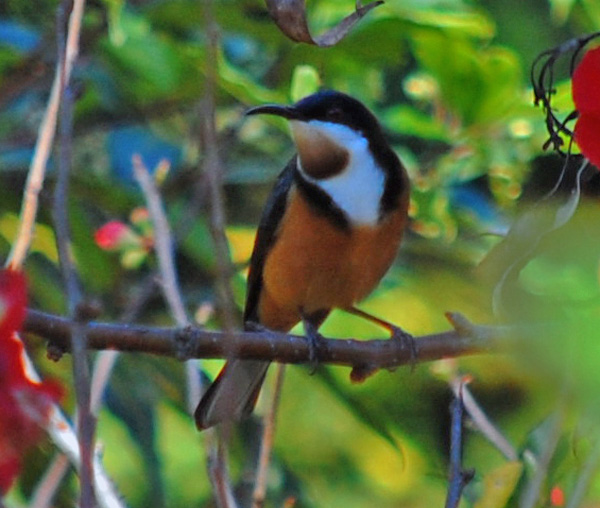 Eastern Spinebill High Quality Background on Wallpapers Vista