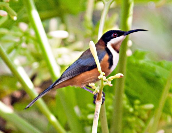 HQ Eastern Spinebill Wallpapers | File 48.36Kb
