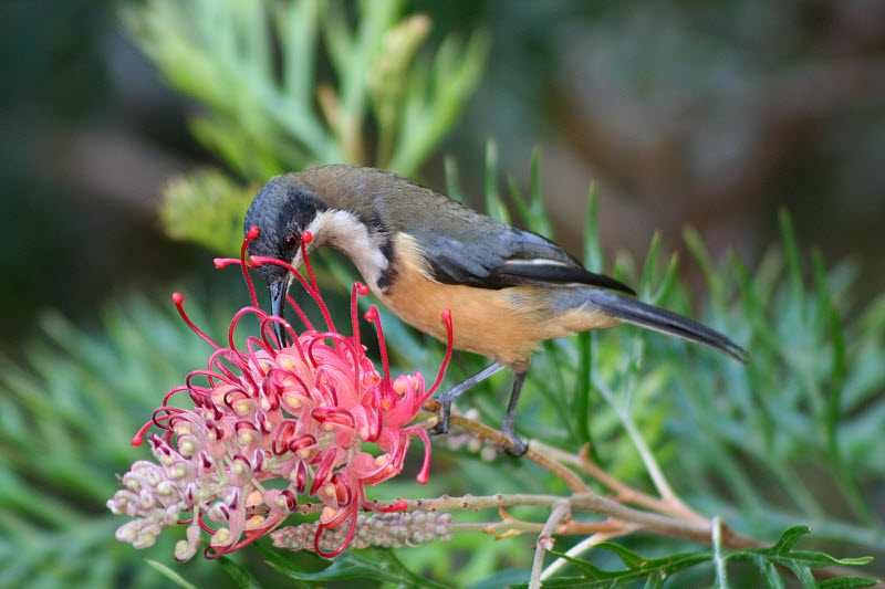 Images of Eastern Spinebill | 800x533
