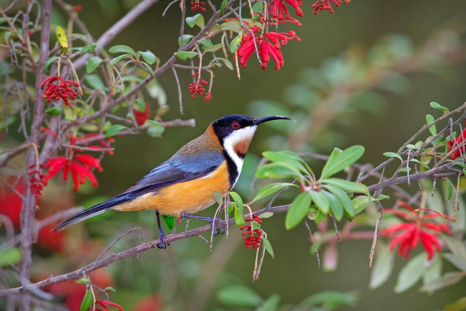HD Quality Wallpaper | Collection: Animal, 940x627 Eastern Spinebill