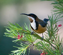 Images of Eastern Spinebill | 220x192