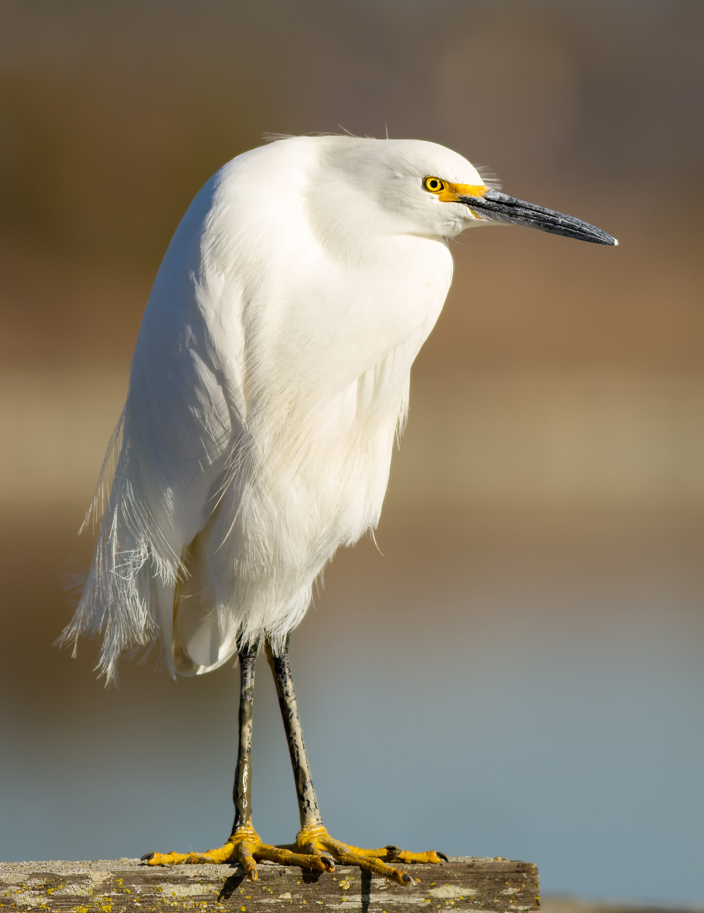 Nice wallpapers Egret 2437x3159px