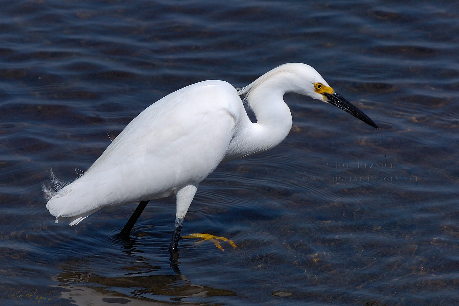 Egret High Quality Background on Wallpapers Vista