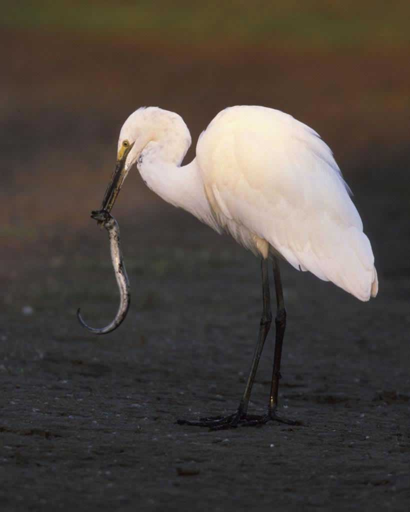 Amazing Egret Pictures & Backgrounds