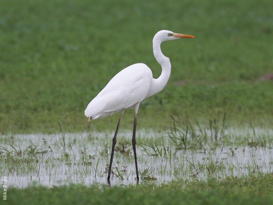 Egret Pics, Animal Collection