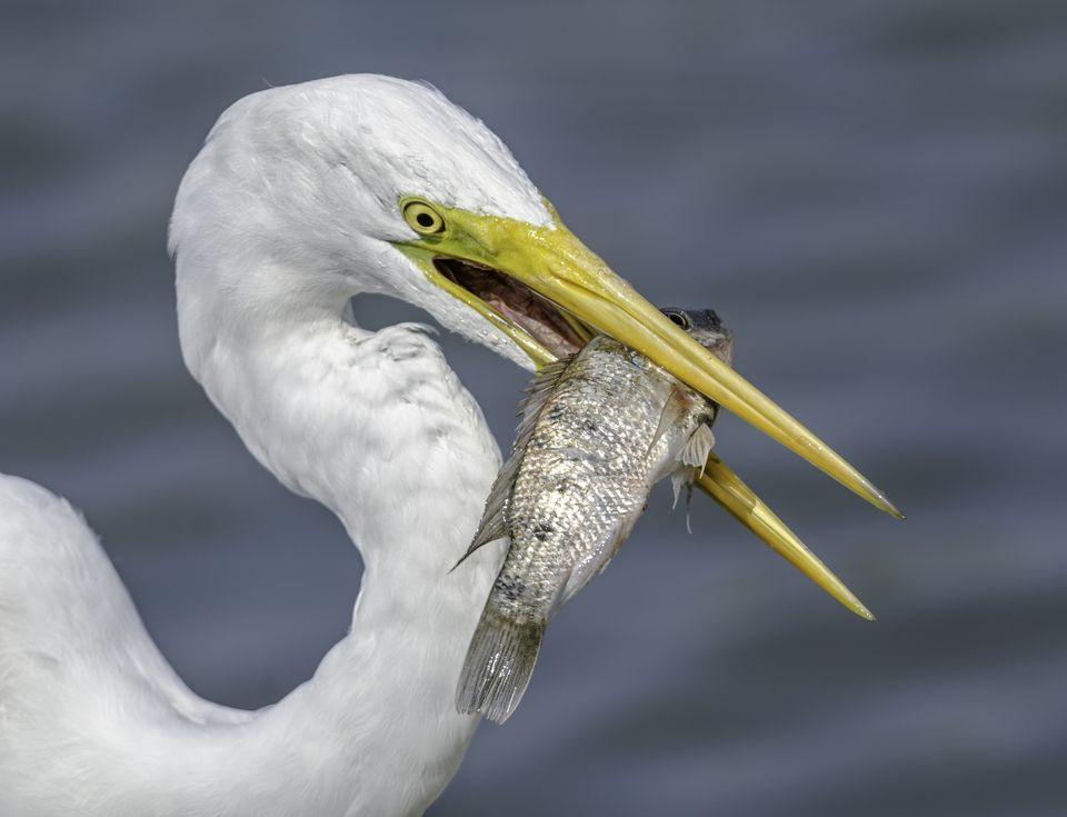 Images of Egret | 960x735