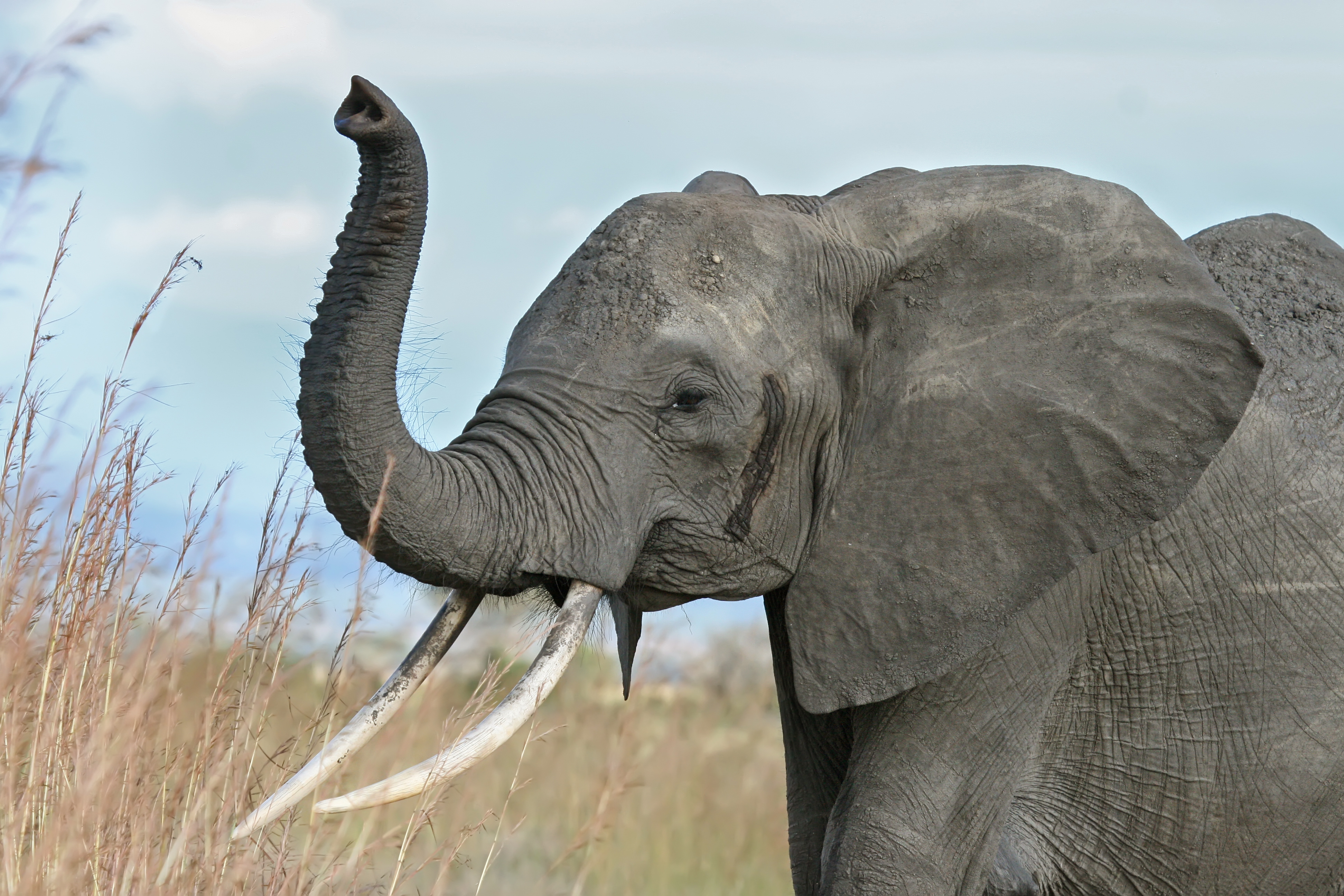 Nice wallpapers Elephant 3888x2592px