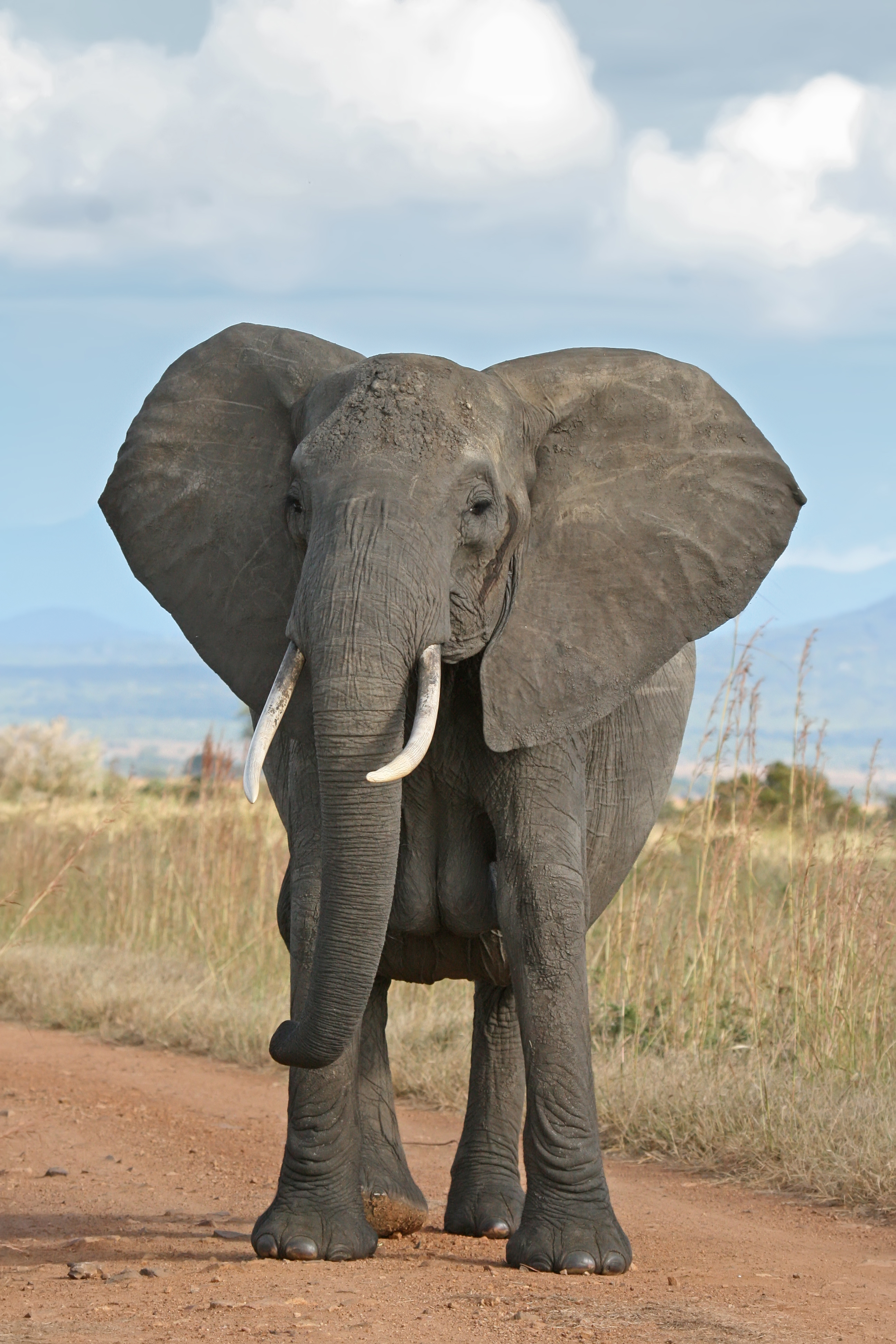 High Resolution Wallpaper | Elephant 2592x3888 px