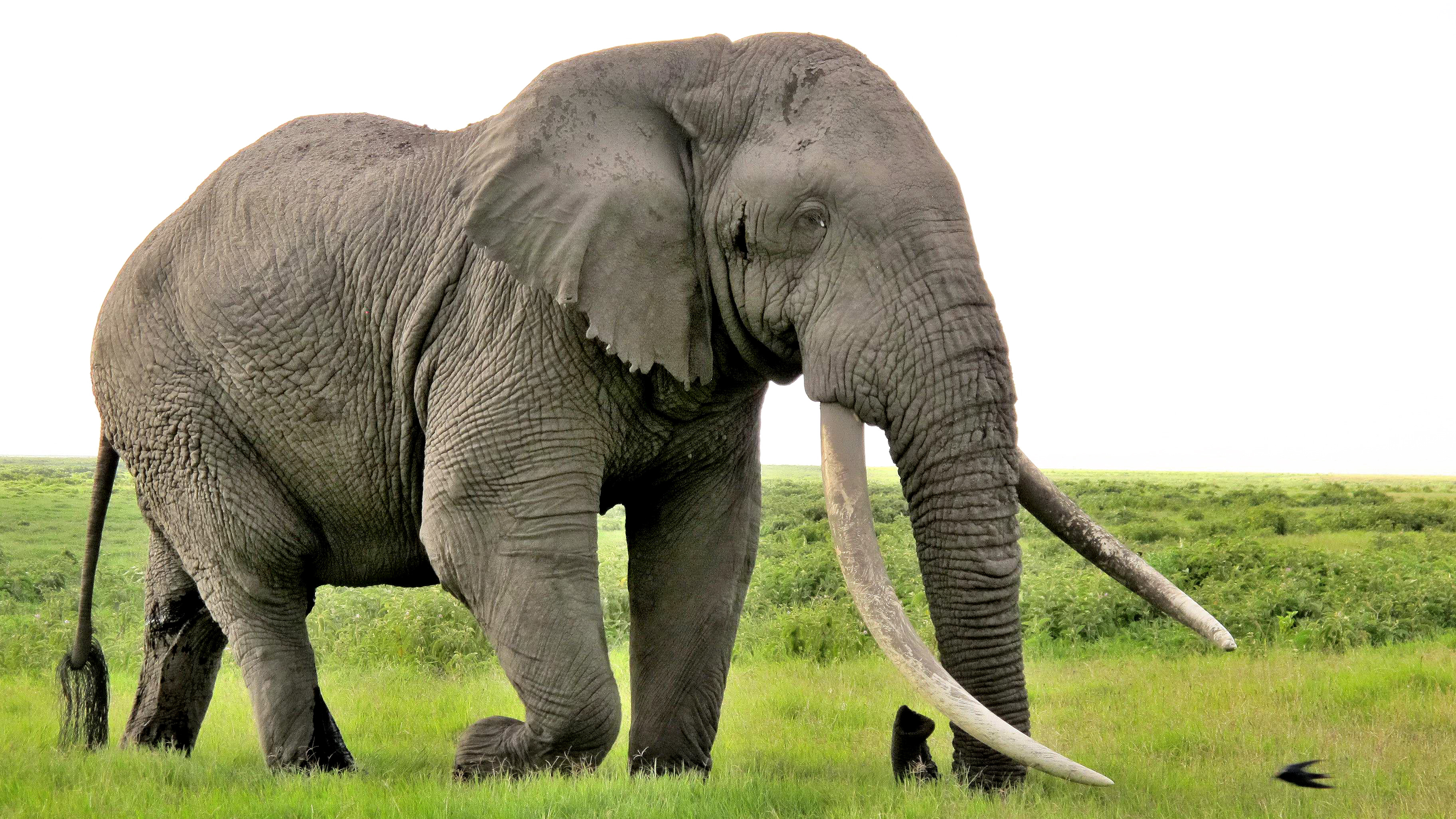 Elephant High Quality Background on Wallpapers Vista
