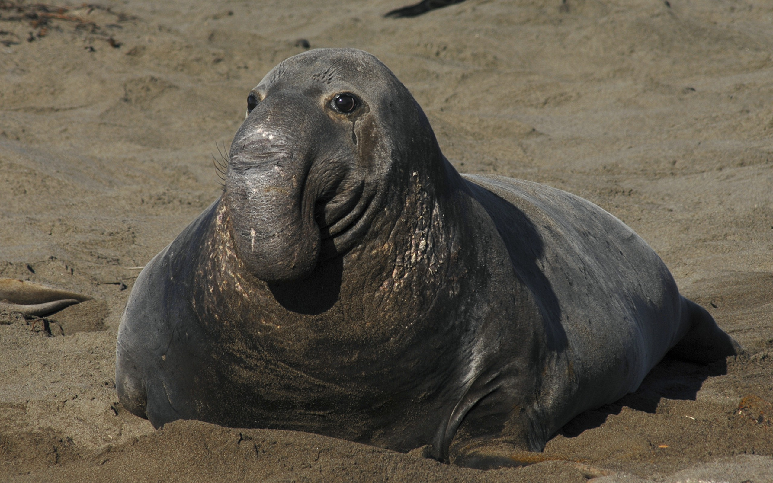 HD Quality Wallpaper | Collection: Animal, 2560x1600 Elephant Seal