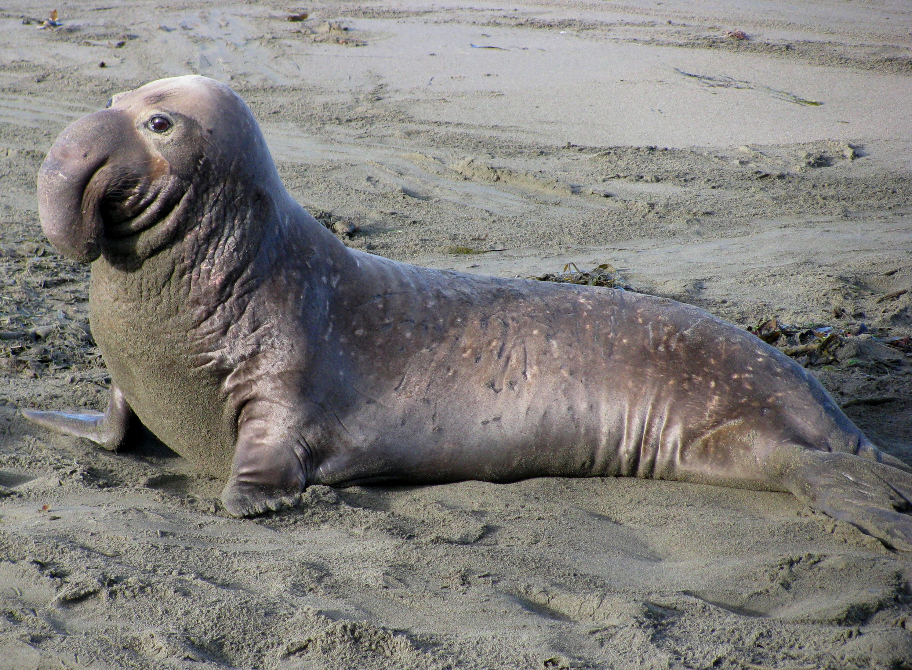High Resolution Wallpaper | Elephant Seal 2987x2195 px