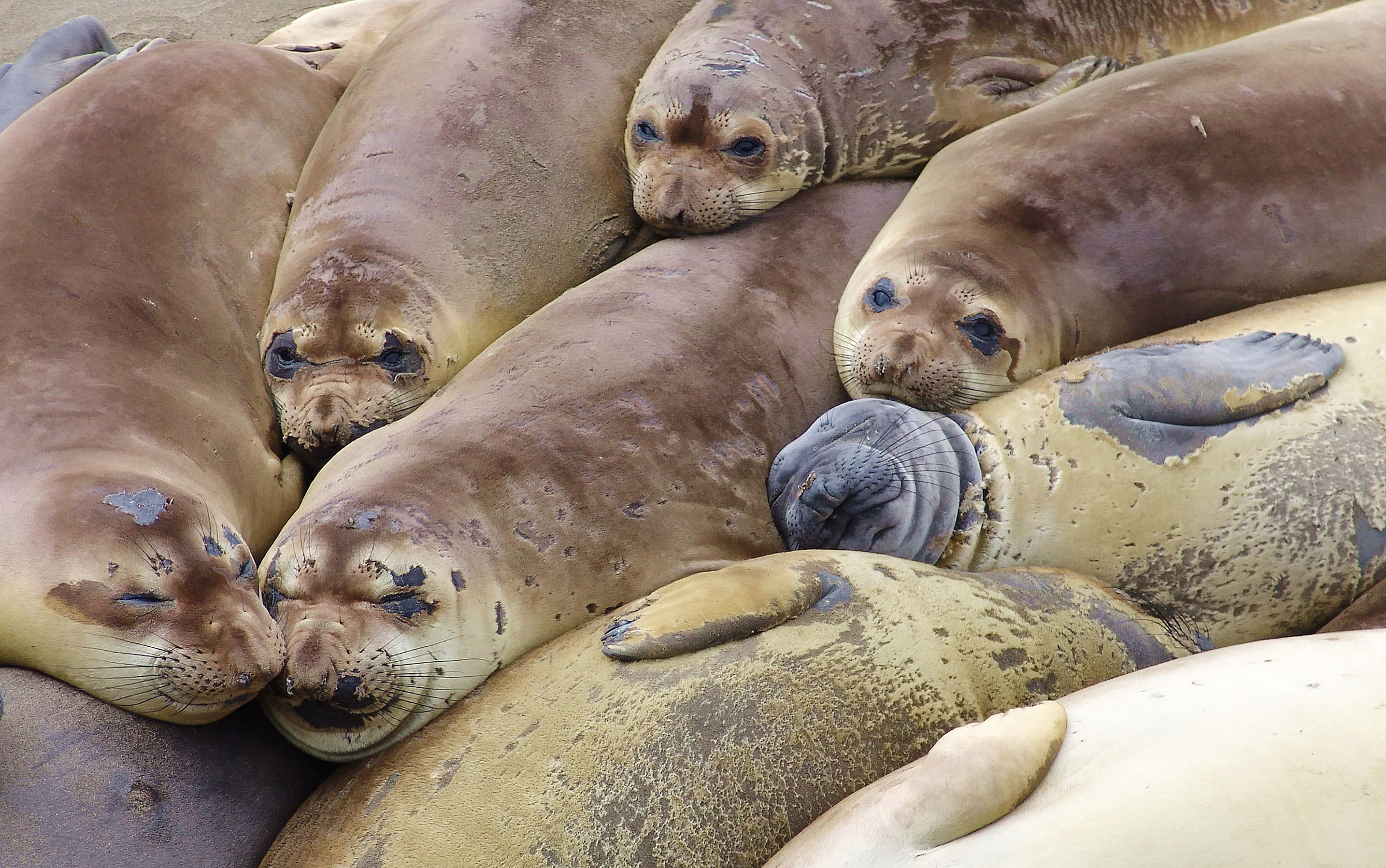 Nice Images Collection: Elephant Seal Desktop Wallpapers