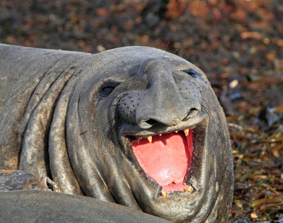 Elephant Seal Backgrounds, Compatible - PC, Mobile, Gadgets| 1200x945 px