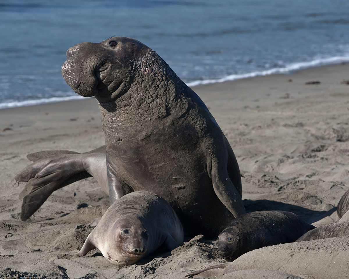 1200x960 > Elephant Seal Wallpapers