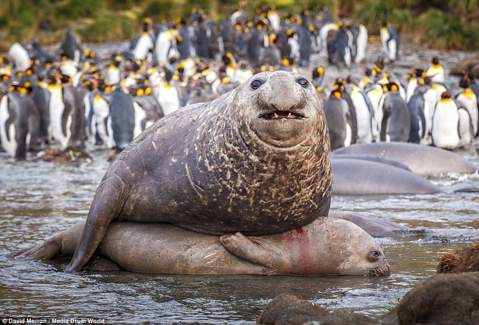 Amazing Elephant Seal Pictures & Backgrounds