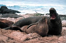 High Resolution Wallpaper | Elephant Seal 250x166 px