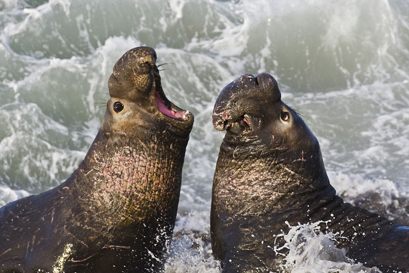 Elephant Seal Backgrounds, Compatible - PC, Mobile, Gadgets| 800x533 px