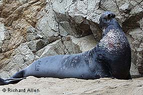 Elephant Seal Backgrounds, Compatible - PC, Mobile, Gadgets| 285x190 px