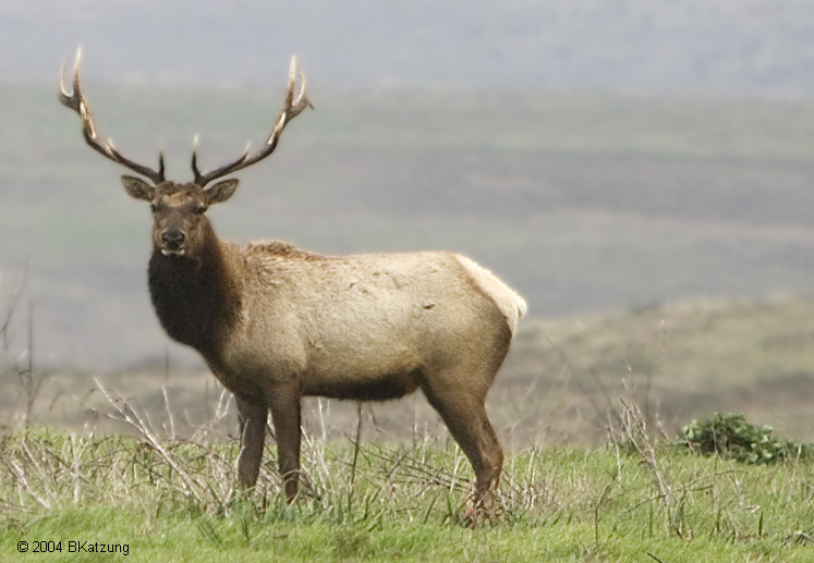 Elk High Quality Background on Wallpapers Vista