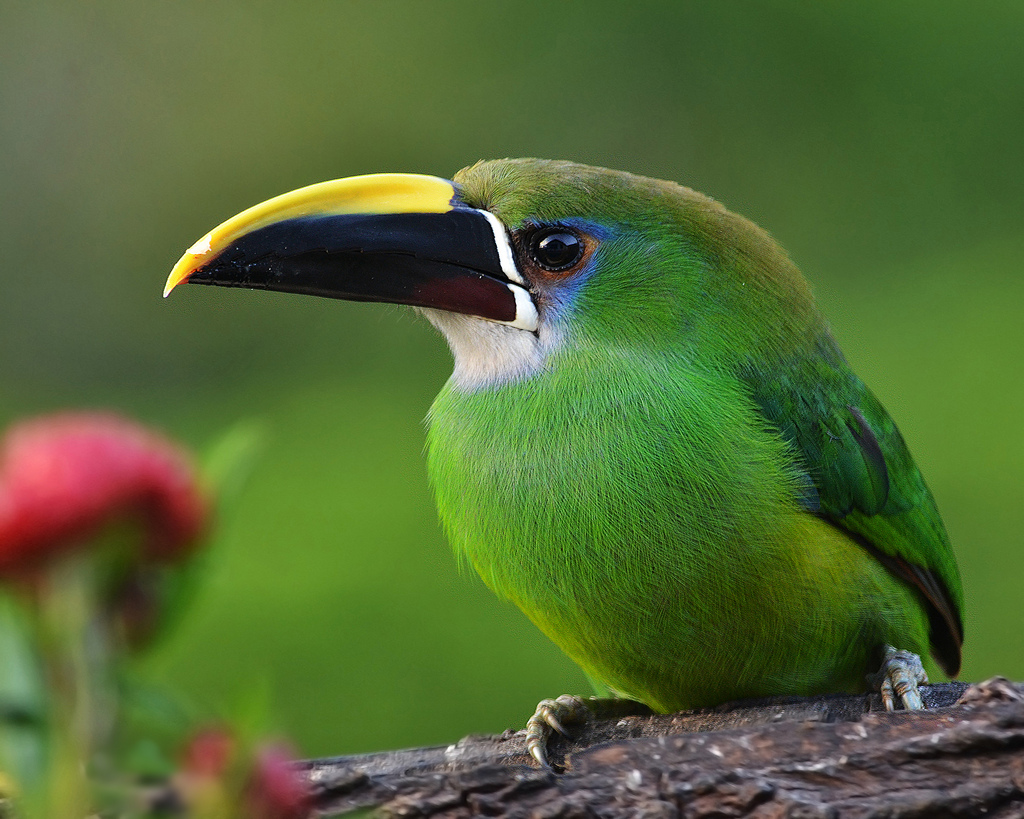 Emerald Toucanet Pics, Animal Collection