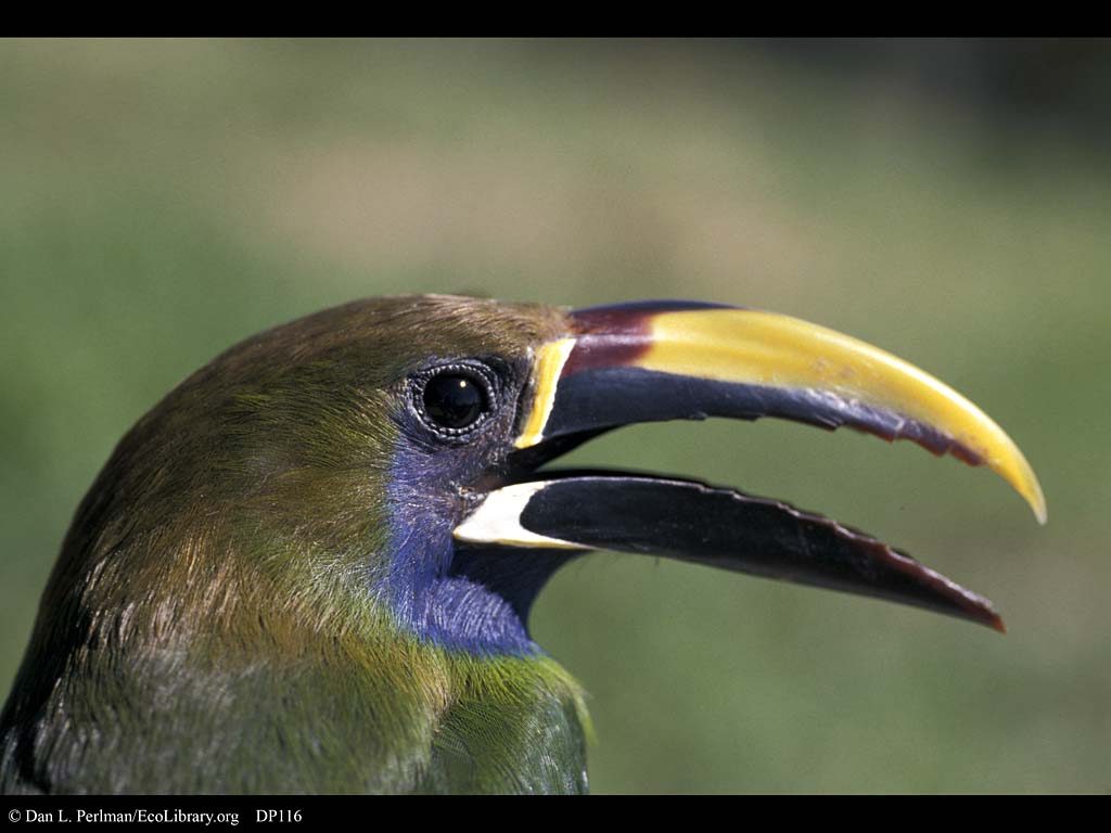 HD Quality Wallpaper | Collection: Animal, 1024x768 Emerald Toucanet