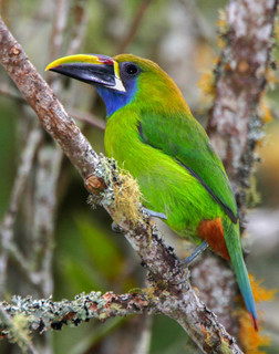 HD Quality Wallpaper | Collection: Animal, 252x320 Emerald Toucanet