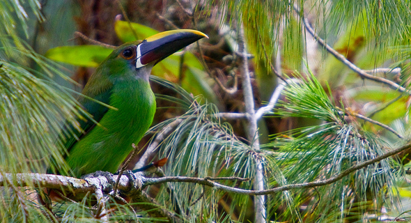 HQ Emerald Toucanet Wallpapers | File 301.73Kb