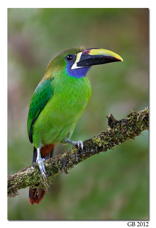 Nice Images Collection: Emerald Toucanet Desktop Wallpapers