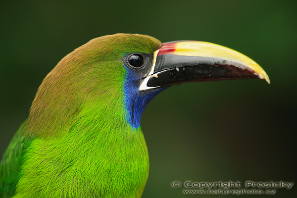 HQ Emerald Toucanet Wallpapers | File 125.01Kb