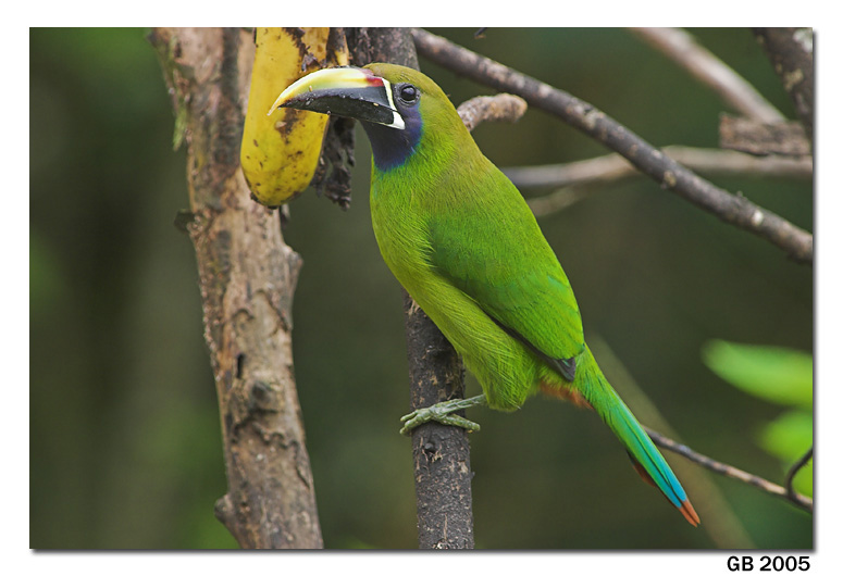 Nice wallpapers Emerald Toucanet 775x530px