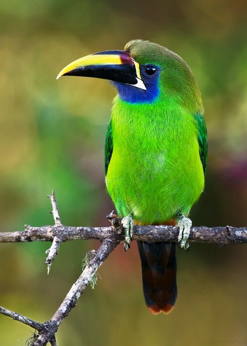 HQ Emerald Toucanet Wallpapers | File 50.08Kb