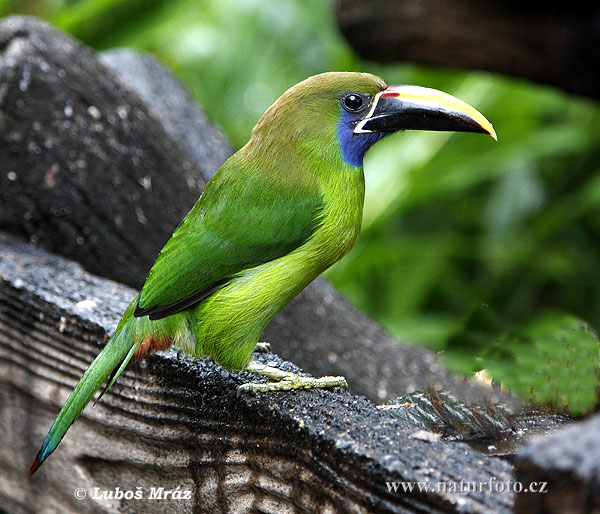Amazing Emerald Toucanet Pictures & Backgrounds
