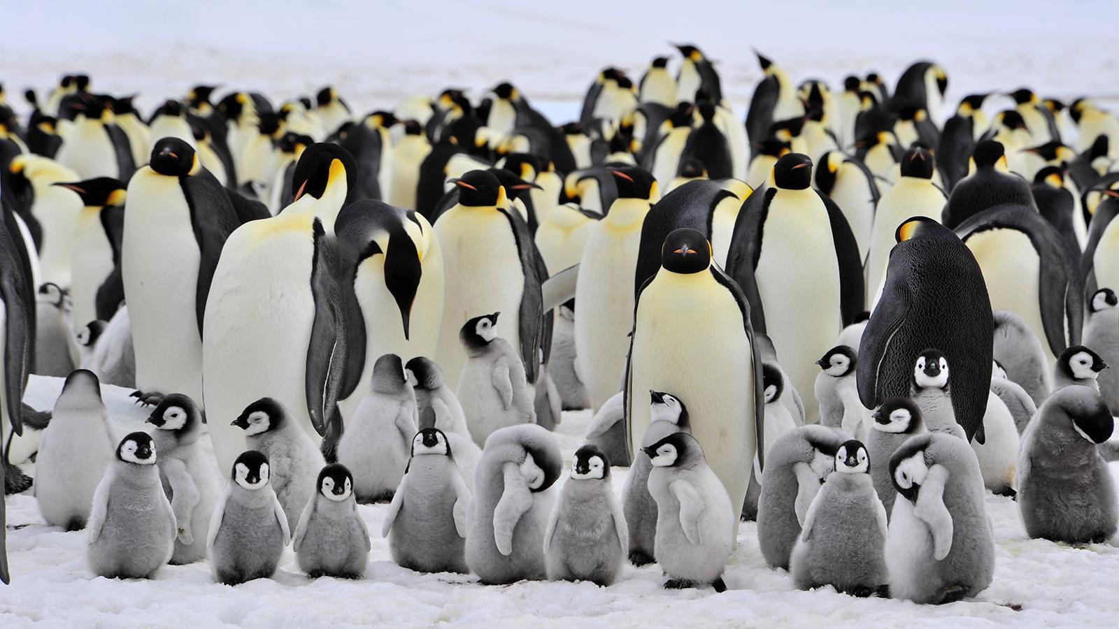 Emperor Penguin Backgrounds, Compatible - PC, Mobile, Gadgets| 1600x900 px