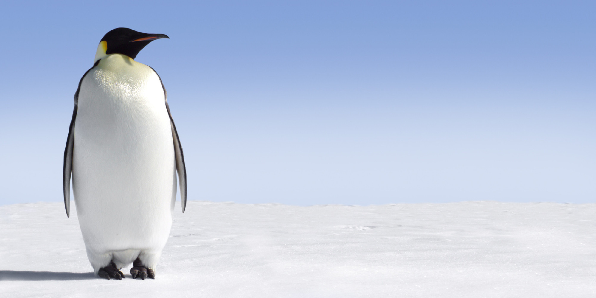 Emperor Penguin Pics, Animal Collection