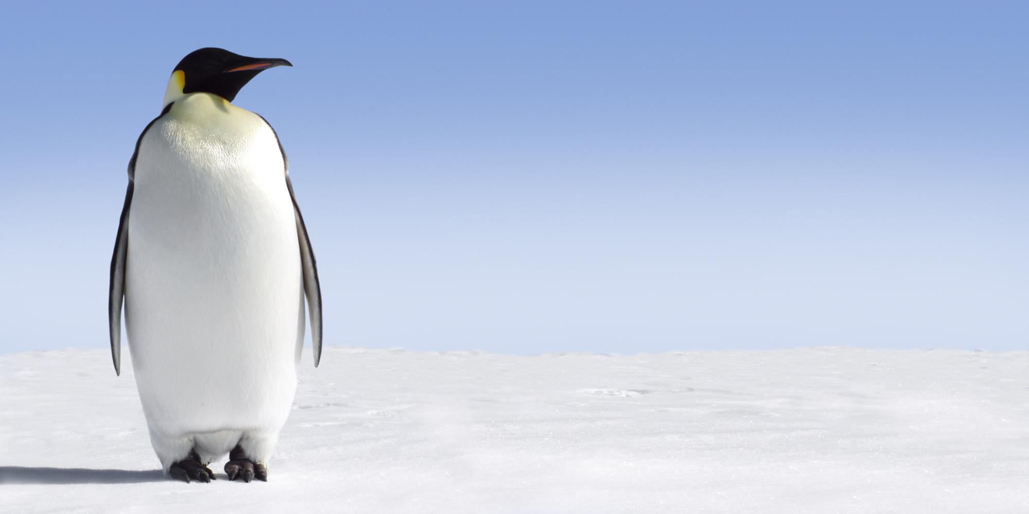Emperor Penguin Backgrounds, Compatible - PC, Mobile, Gadgets| 2000x1000 px