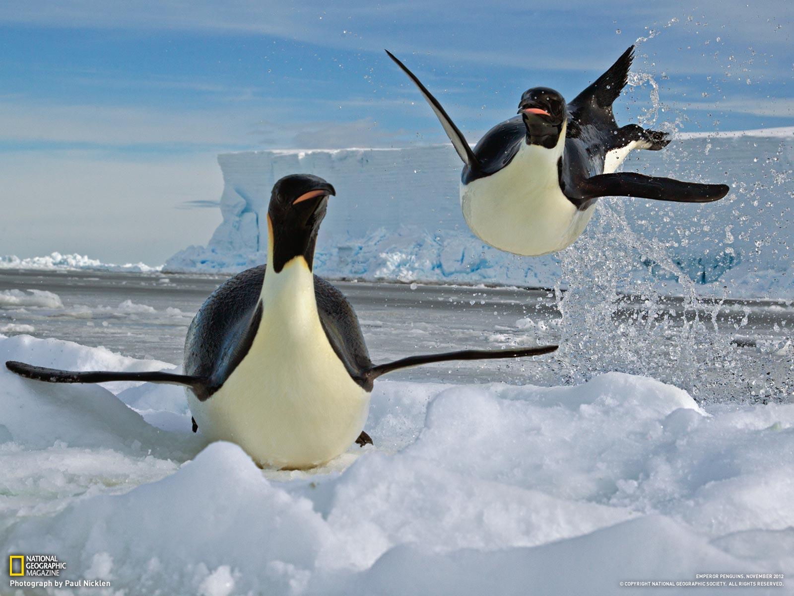 HQ Emperor Penguin Wallpapers | File 224.34Kb
