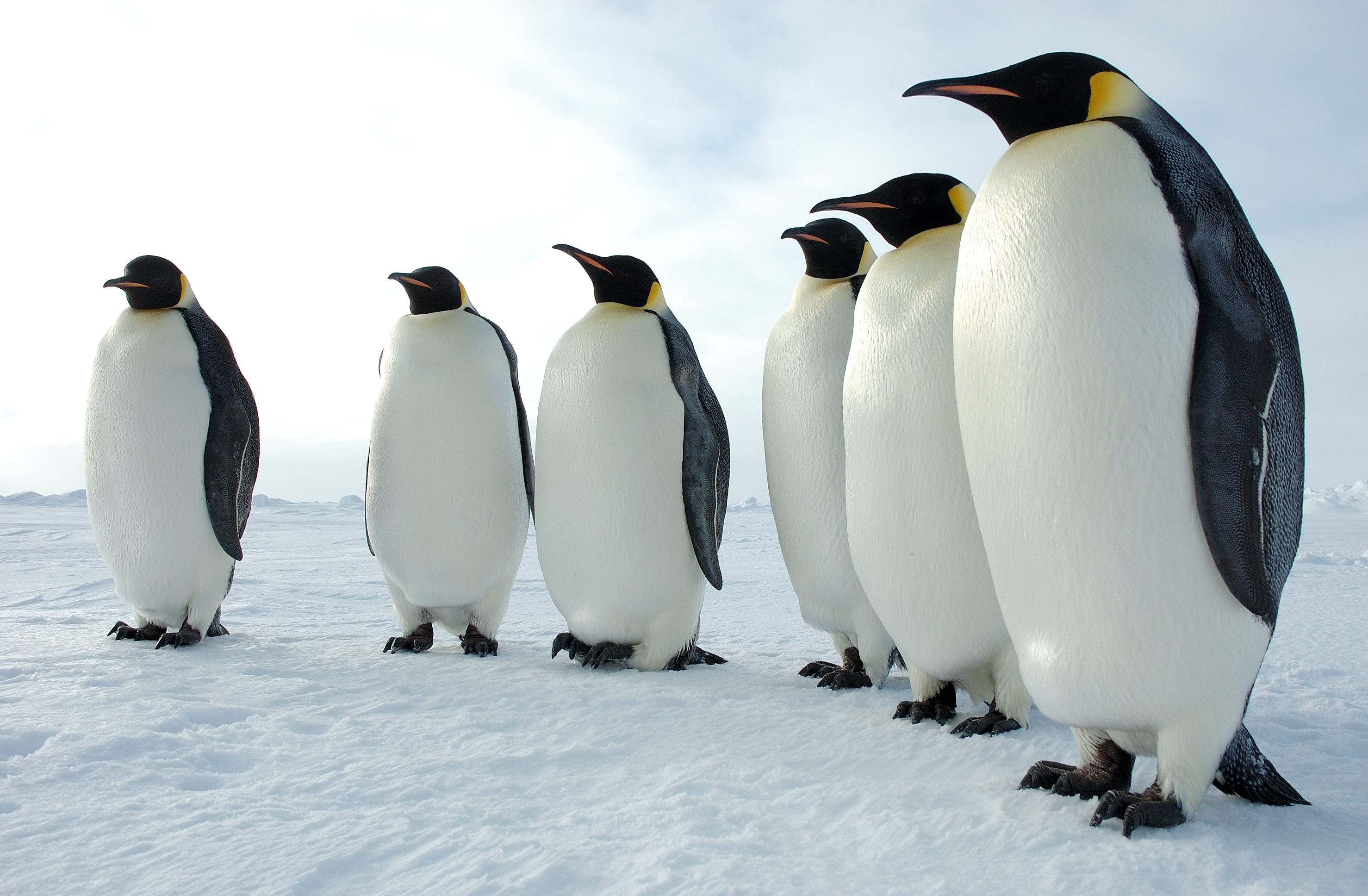 Nice Images Collection: Penguin Desktop Wallpapers