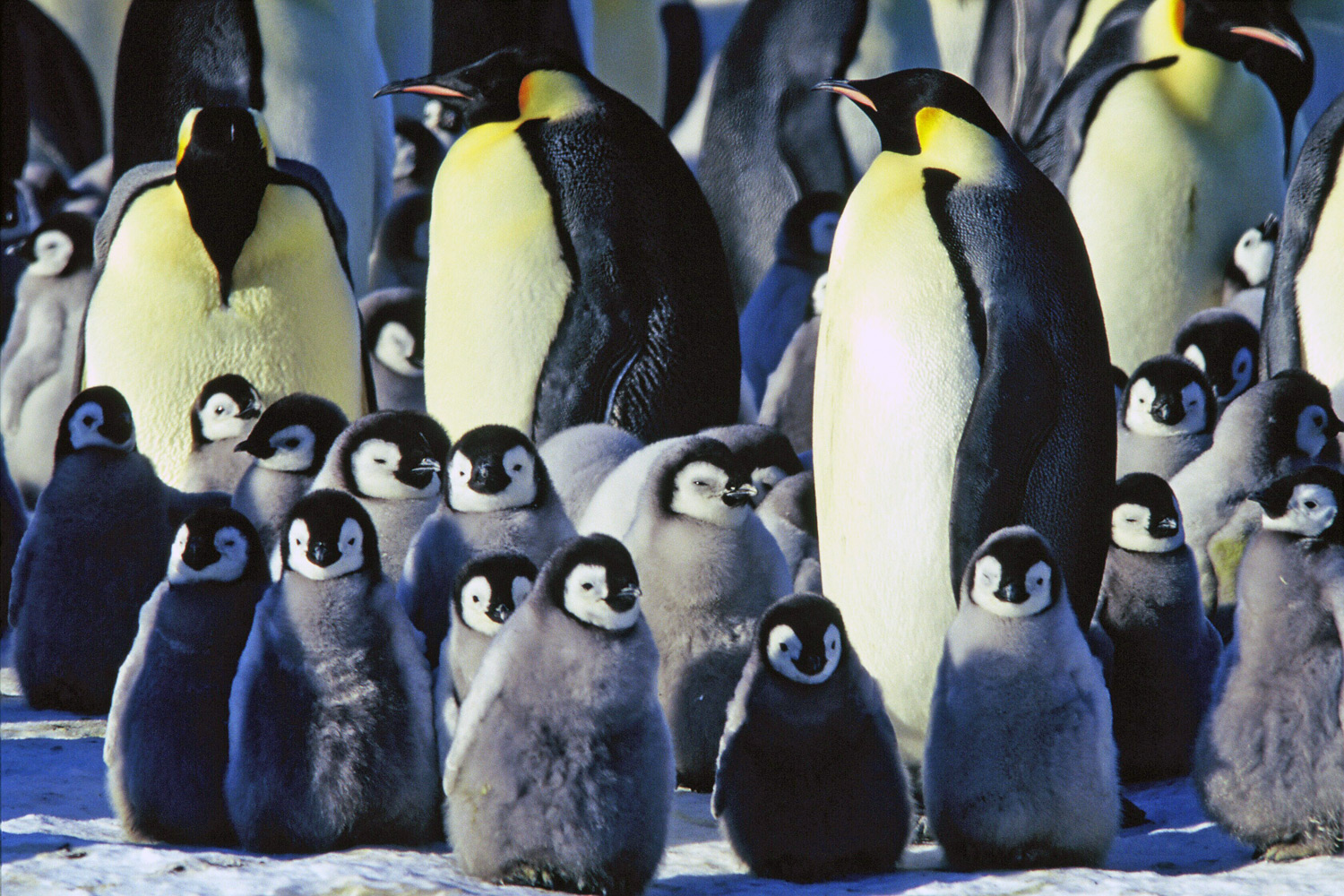 Amazing Emperor Penguin Pictures & Backgrounds