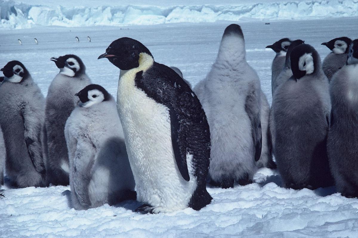Emperor Penguin #6