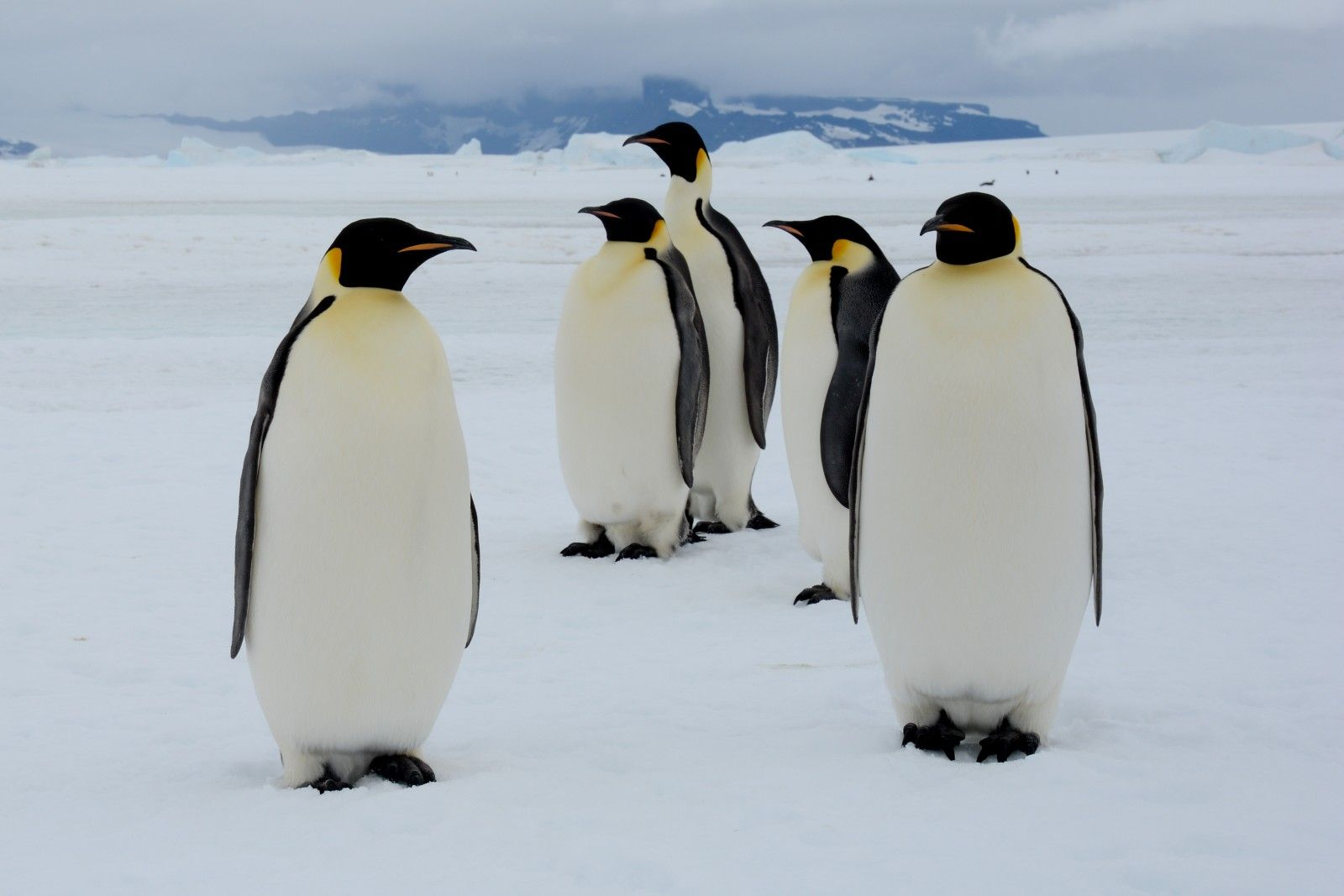 Emperor Penguin High Quality Background on Wallpapers Vista