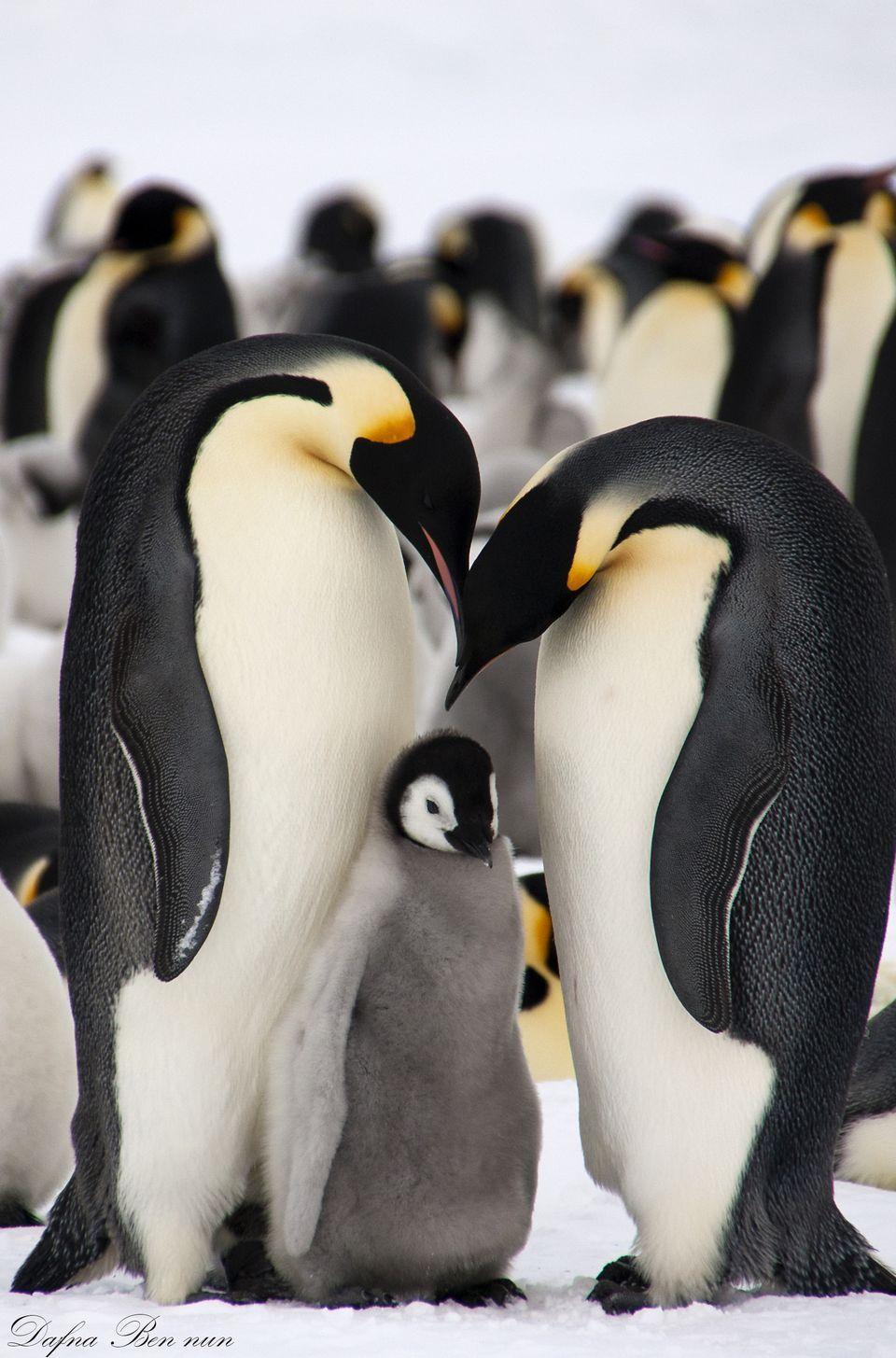 Emperor Penguin Backgrounds on Wallpapers Vista
